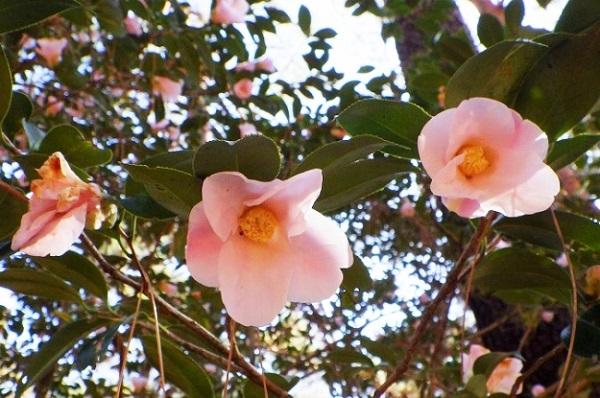 早春の訪れ!国営武蔵丘陵森林公園でウメやツバキなどが開花をスタート
