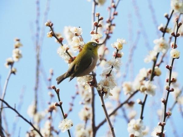 一足早く春の訪れを実感!約500本の梅が彩る京王百草園の「梅まつり」